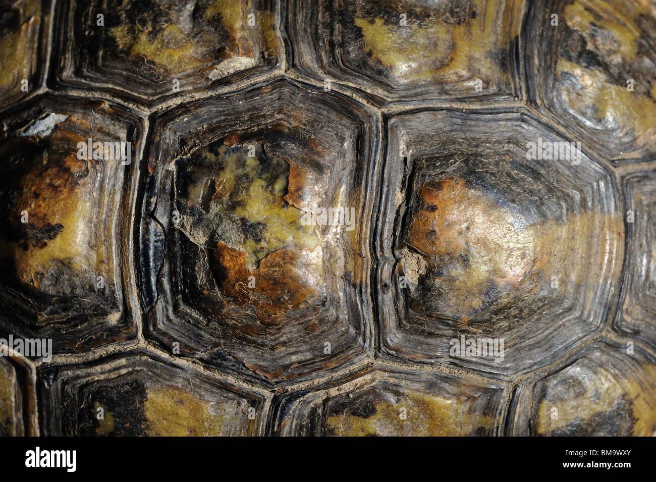 Upside detail of a female Hermann's tortoise (Testudo hermanni boettgeri) - Stock Image