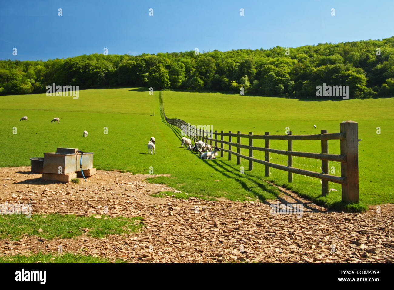 A field of sheep alongside Chequers Lane, Leading to Fingest, The Chilterns, Buckinghamshire, United Kingdom. - Stock Image