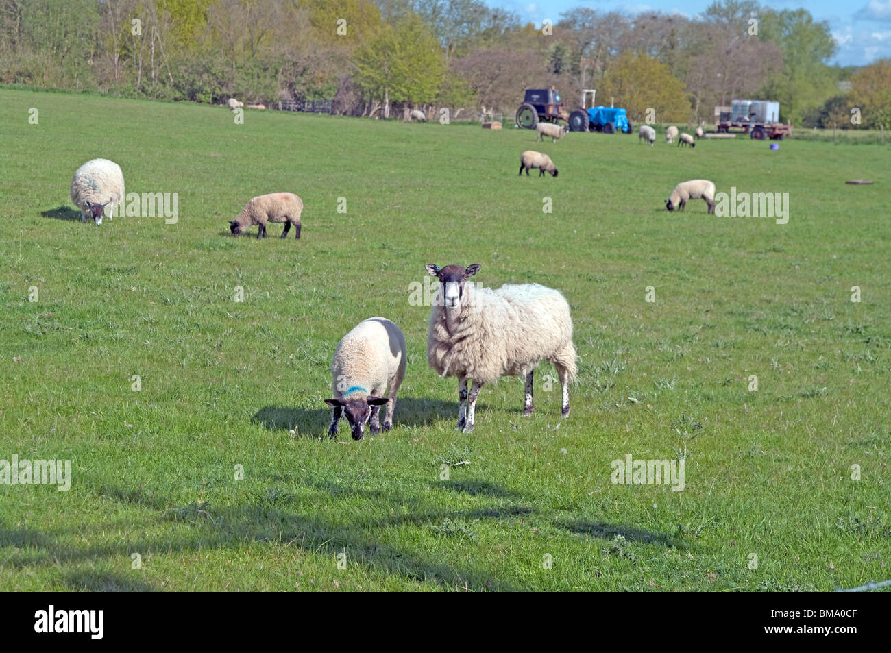 A ewe and a lamb with other other sheep in Great Bardfield Essex - Stock Image