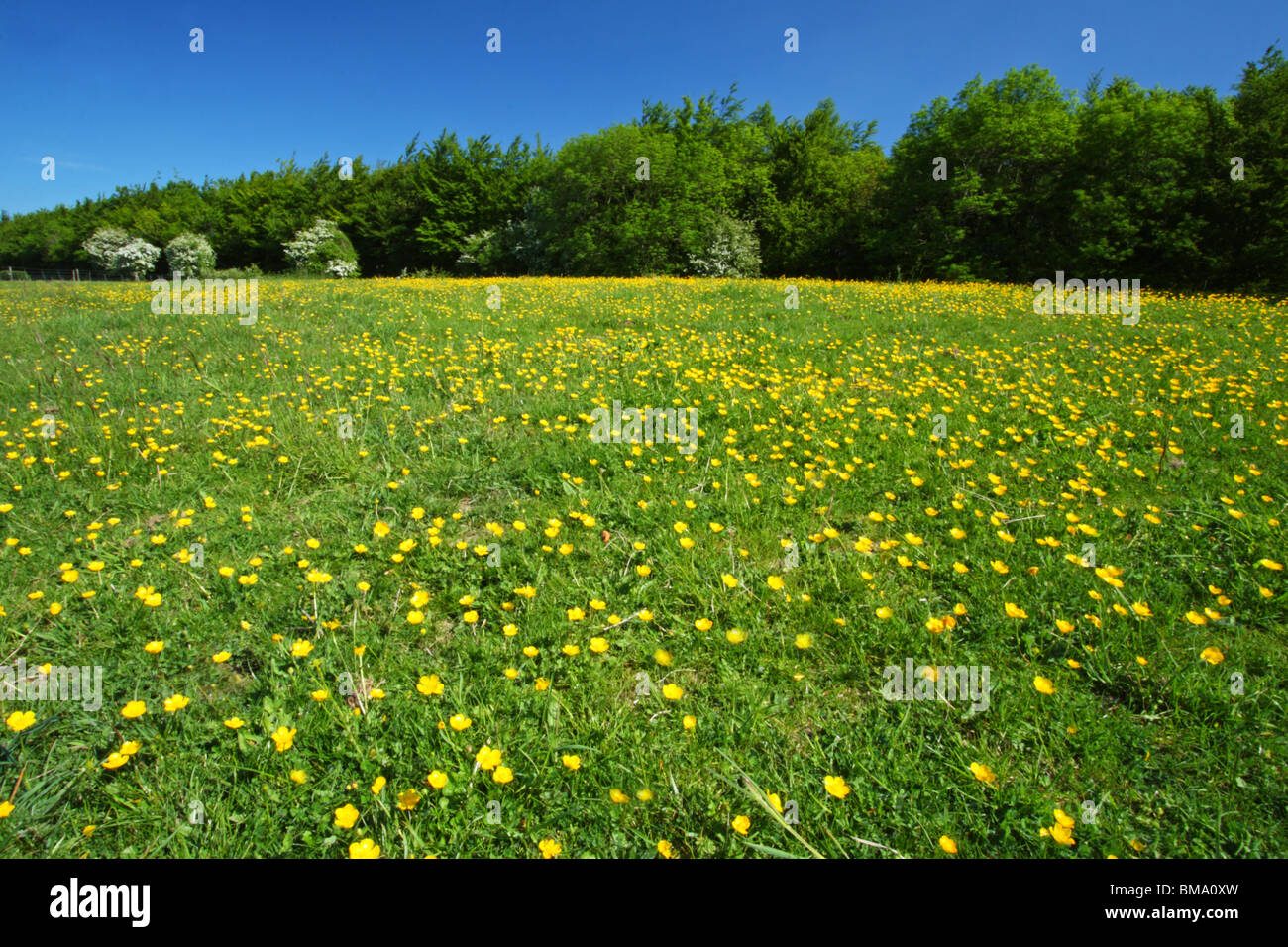 A field of Buttercups (Ranunculus) on a beautiful sunny spring day. Cobstone Hill, Wycombe District, Buckinghamshire, Stock Photo