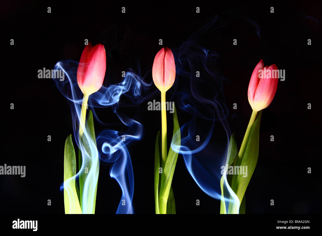 A Photograph of incense smoke rising and curling around three pink tulips. - Stock Image