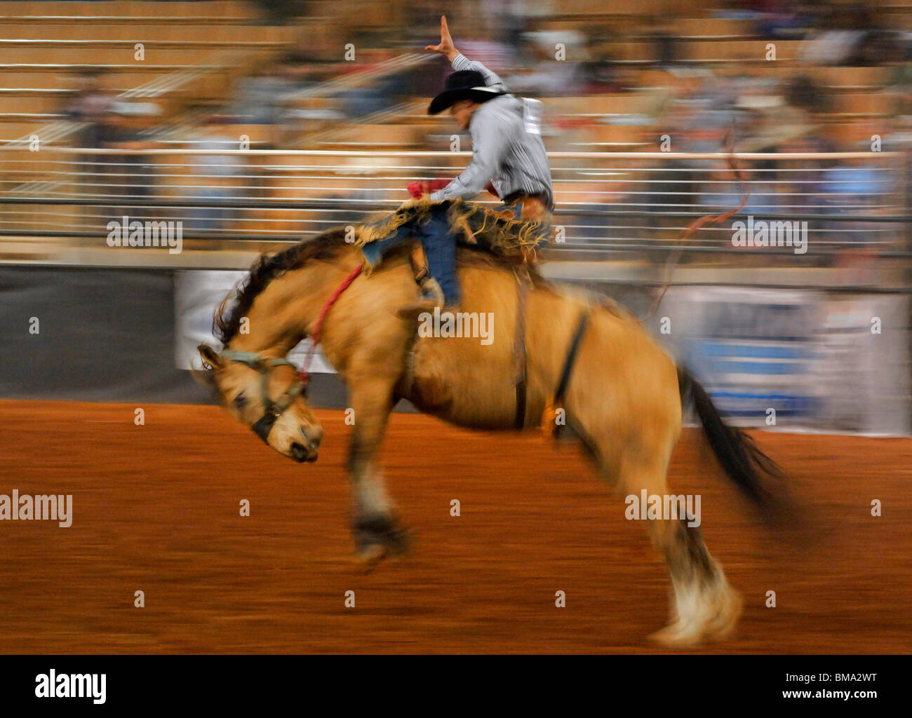 North America, USA, Florida, Kissimmee, Cowboy riding a wild horse at a rodeo as audience watches. - Stock Image