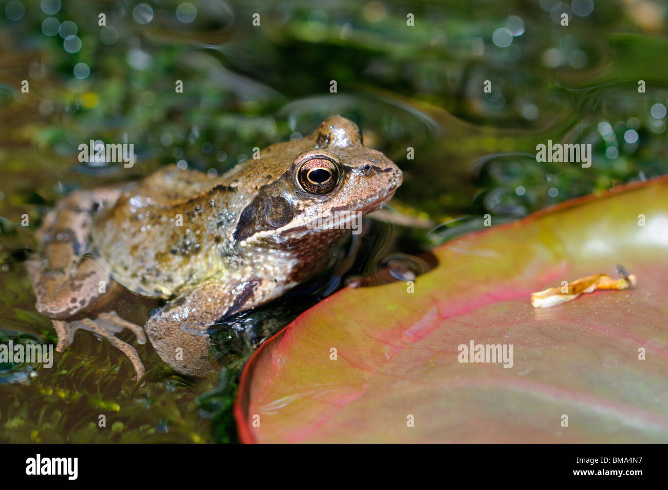 Common Frog (Rana temporaria) adult in garden pond. Kent, UK, May. - Stock Image