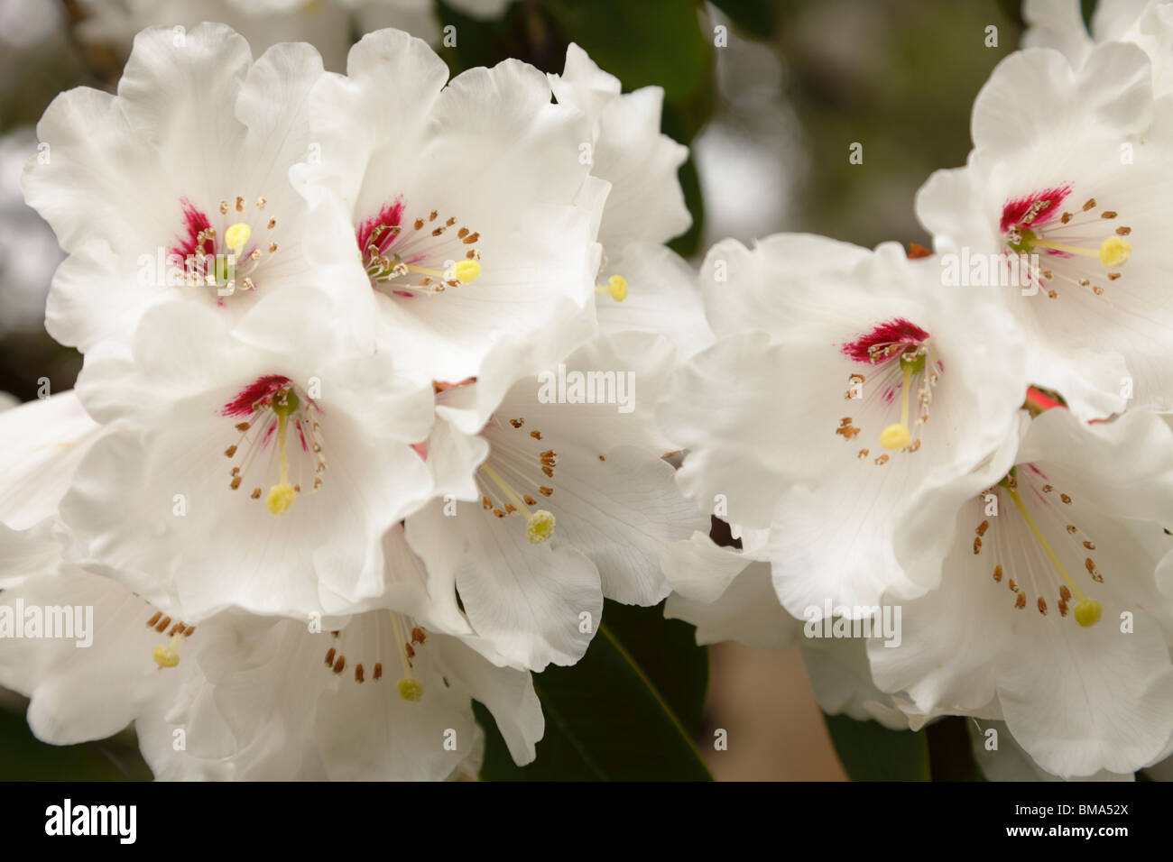 Rhododendron, White - Stock Image