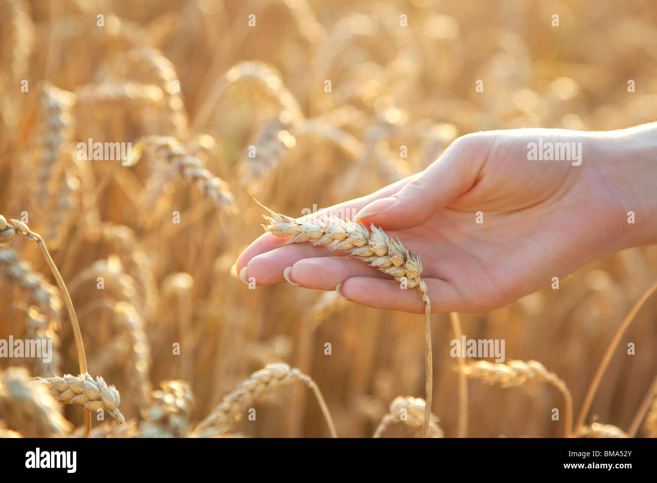 Woman hand with eer of wheat. Soft light. - Stock Image