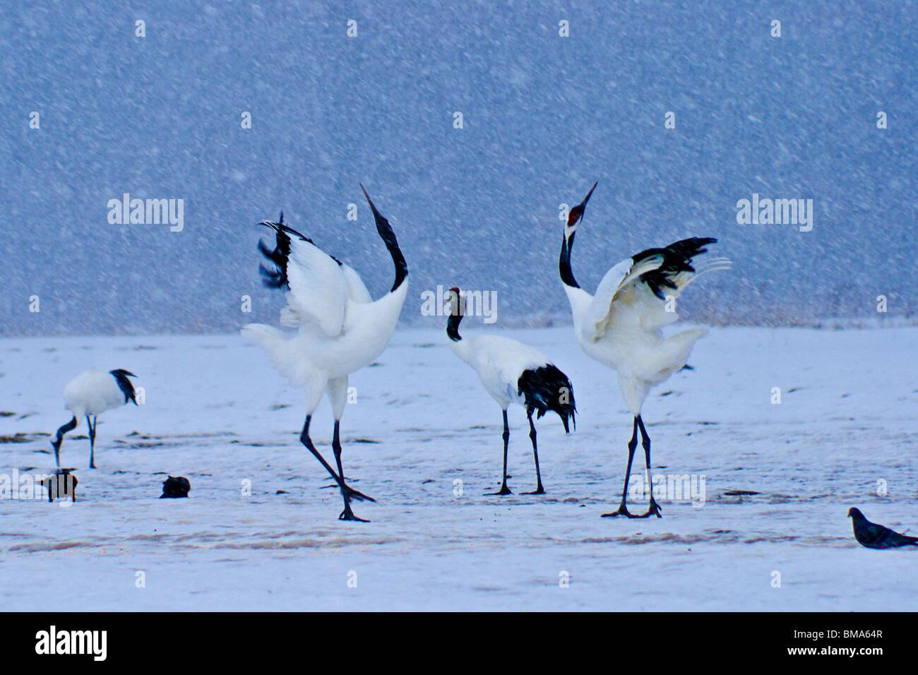 Japanese cranes (Tancho) courting in winter, Kushiro, Hokkaido, Japan - Stock Image