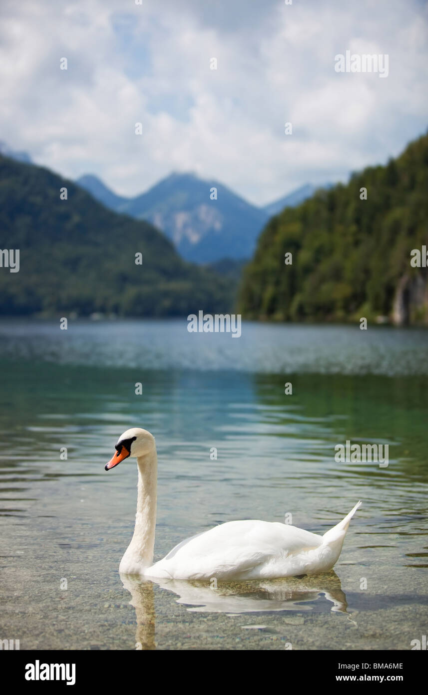 Alps lake with swan. Focus on swan. - Stock Image