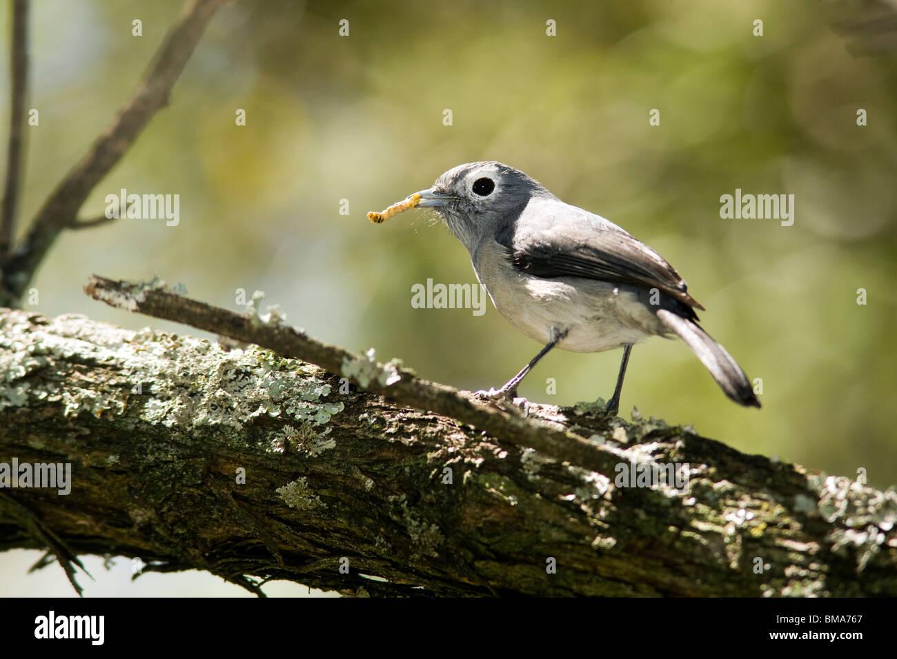 White-eyed Slaty-Flycatcher - Lake Nakuru National Park - Nakuru, Kenya - Stock Image