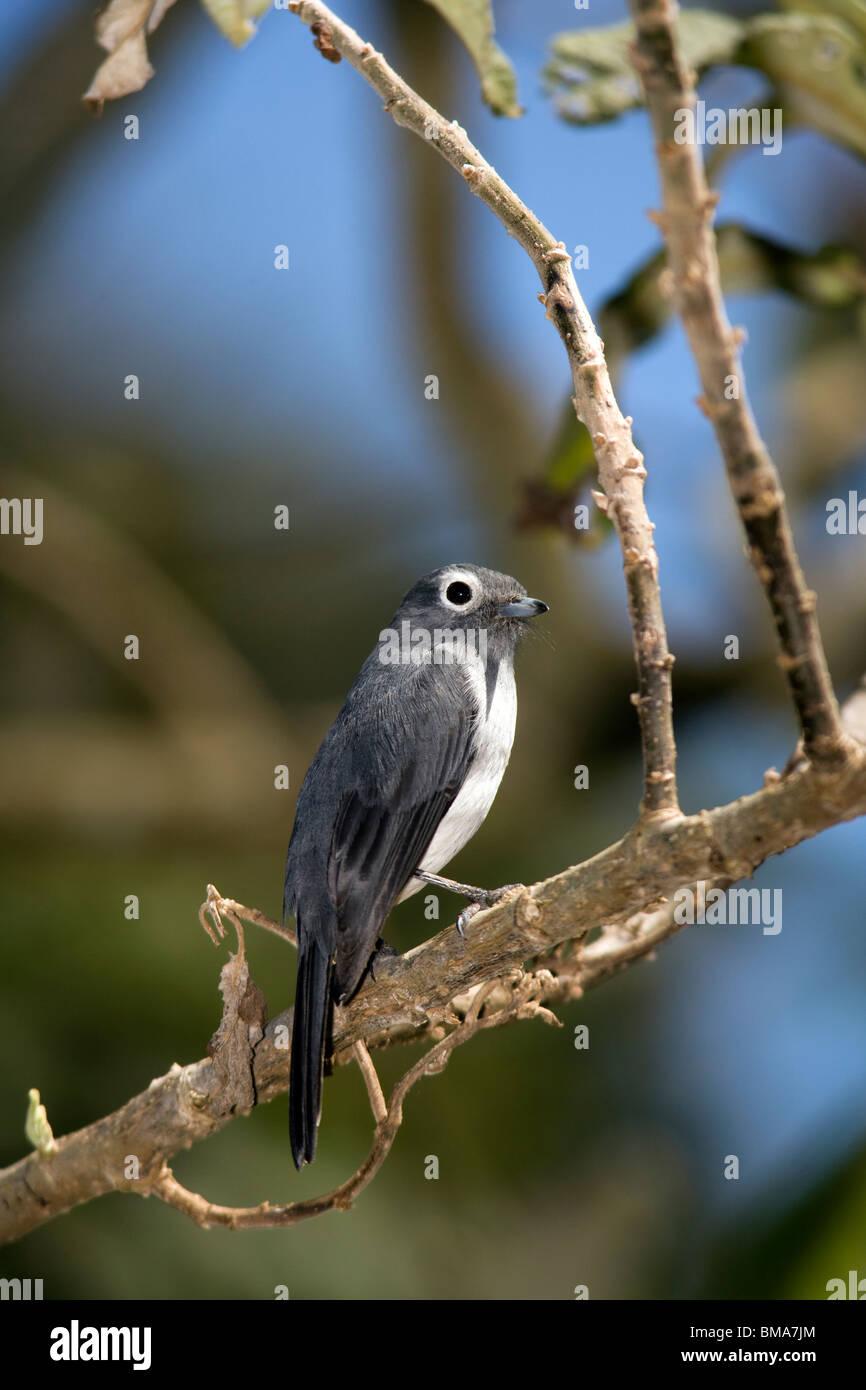 White-eyed Slaty-Flycatcher - Mount Kenya National Park, Kenya - Stock Image
