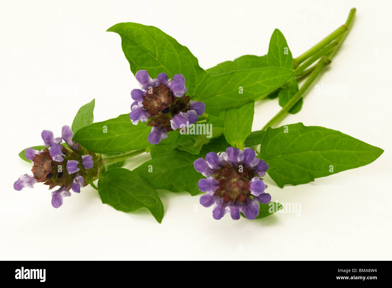 Common Selfheal (Prunella vulgaris), flowering stalks, studio picture. Stock Photo