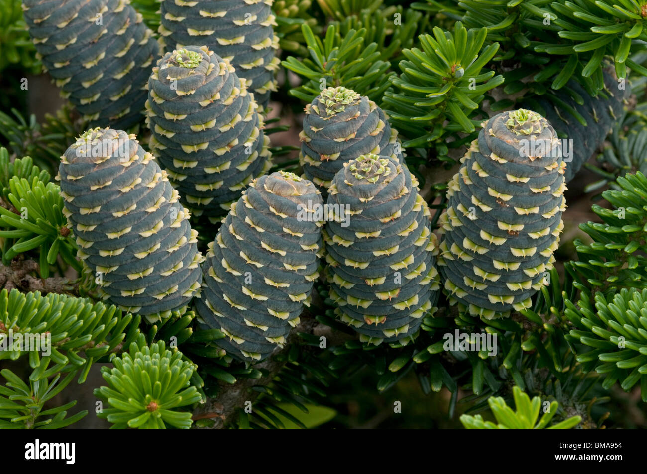 Korean Fir (Abies koreana), variety: Taiga, twig with cones. - Stock Image