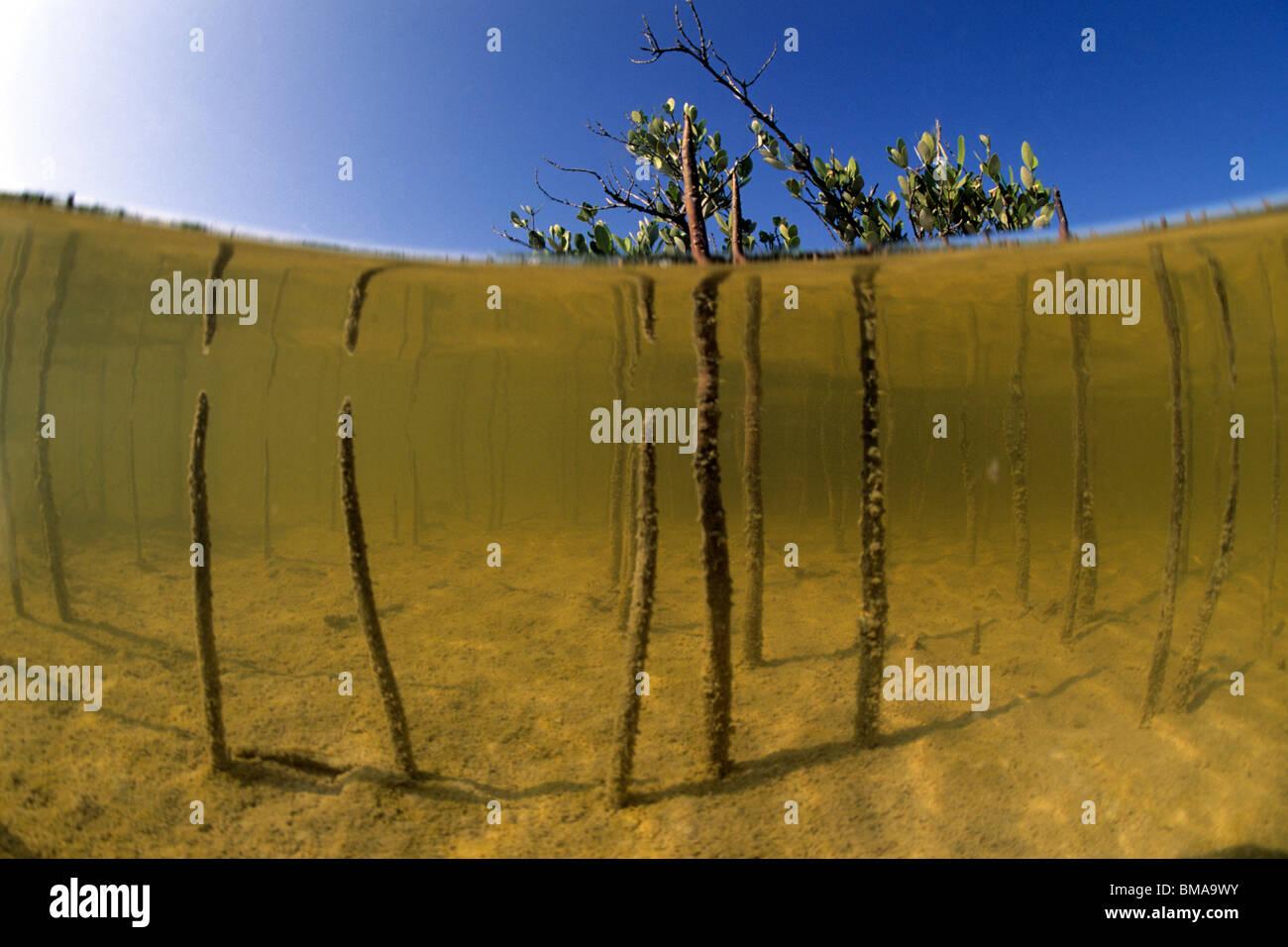 Red Mangrove (Rhizophora mangle), air roots, split level. - Stock Image