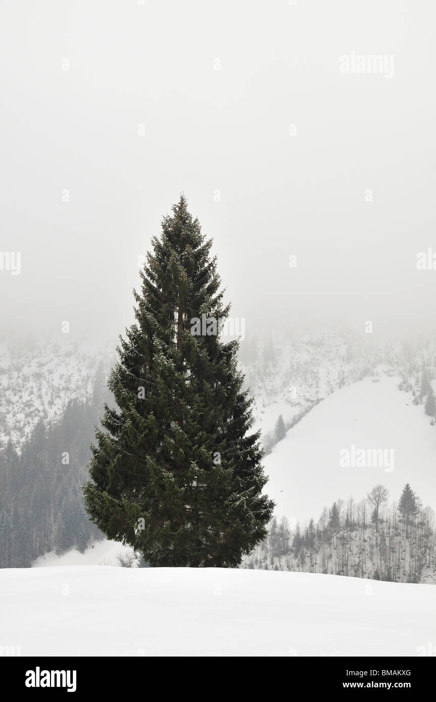Single conifer in winter landscape, Kleinwalsertal valley, Vorarlberg, Allgaeu Alps, Austria - Stock Image