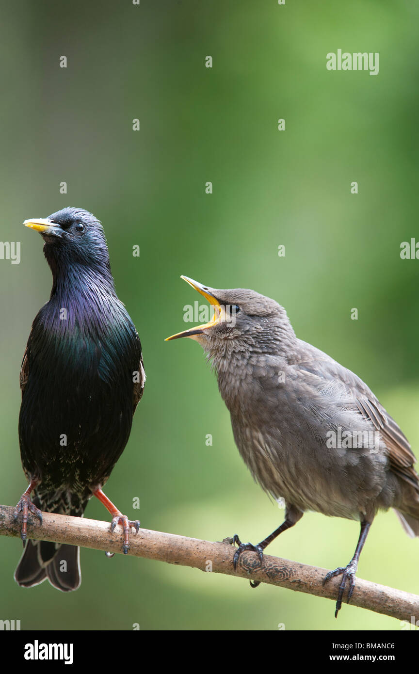 Sturnus vulgaris. Starling feeding a young fledgling - Stock Image