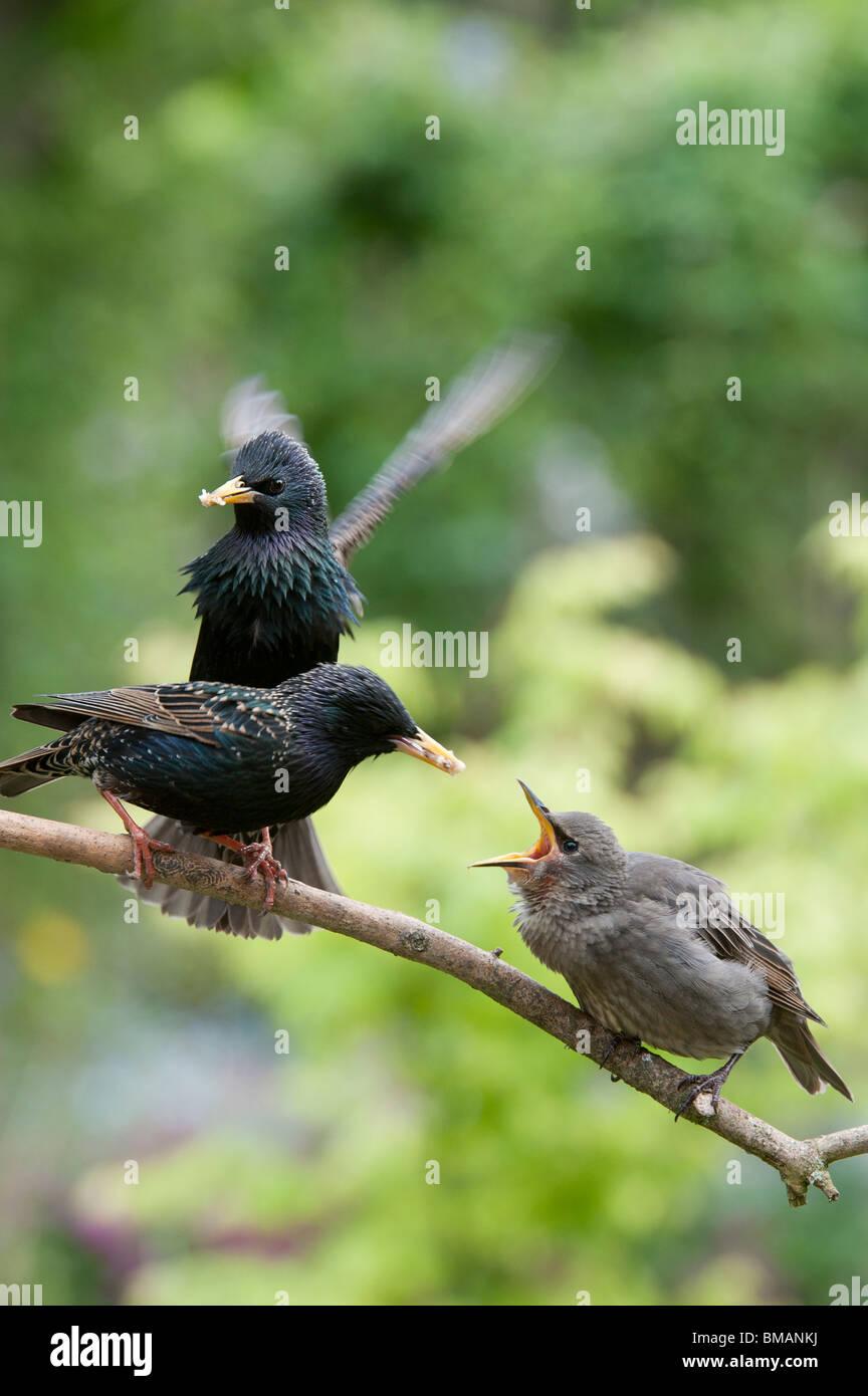 Sturnus vulgaris. Starlings feeding a young fledgling - Stock Image