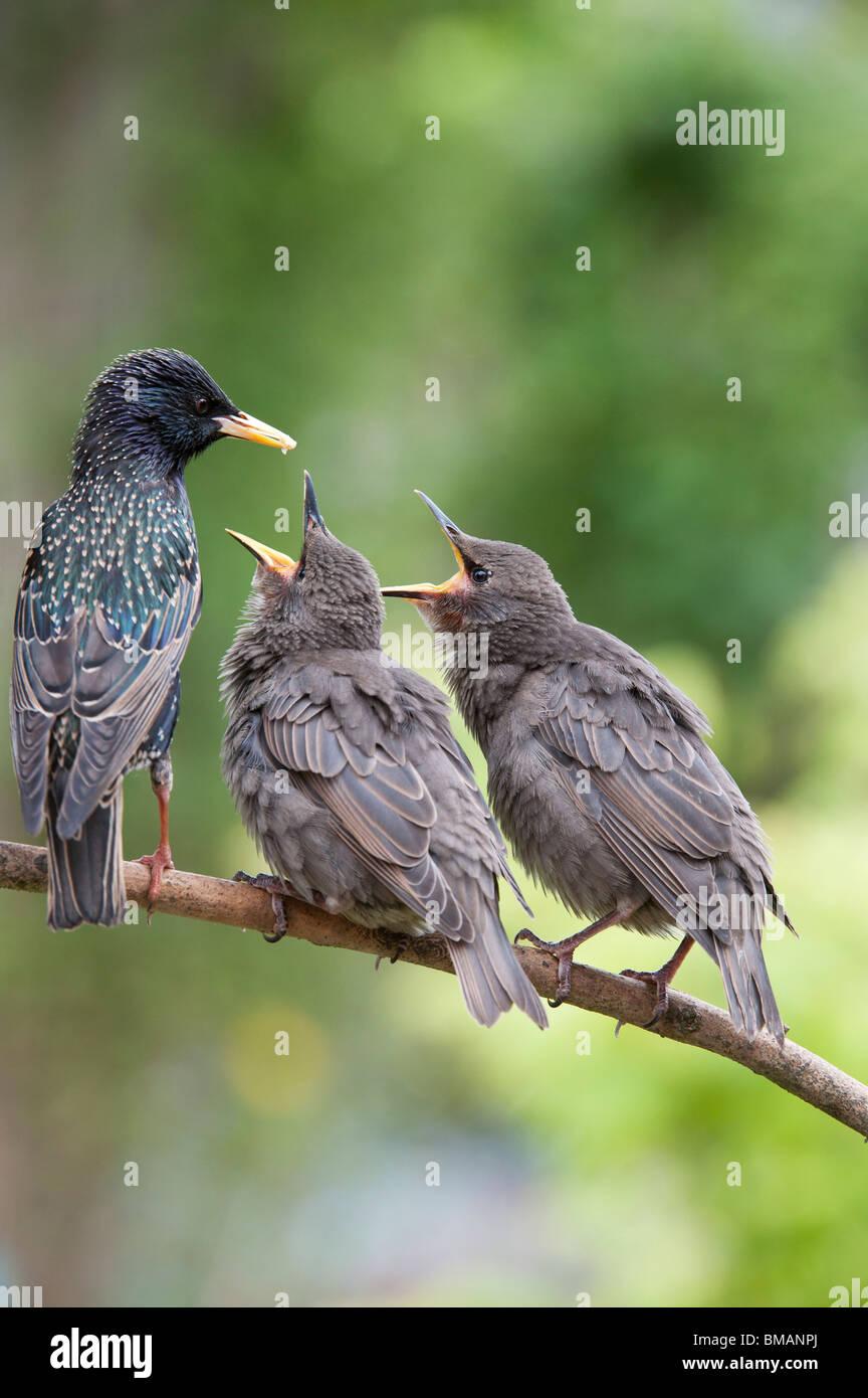 Sturnus vulgaris. Starling feeding young fledglings - Stock Image