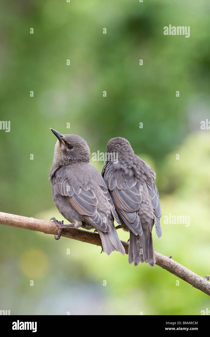 Sturnus vulgaris. Young Starling fledglings - Stock Image