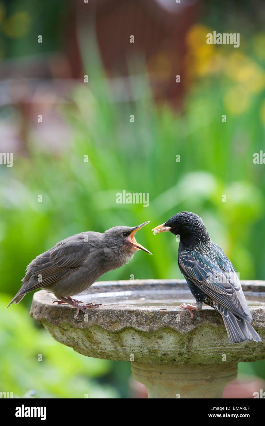 Sturnus vulgaris. Starling feeding a young fledgling on a bird bath - Stock Image