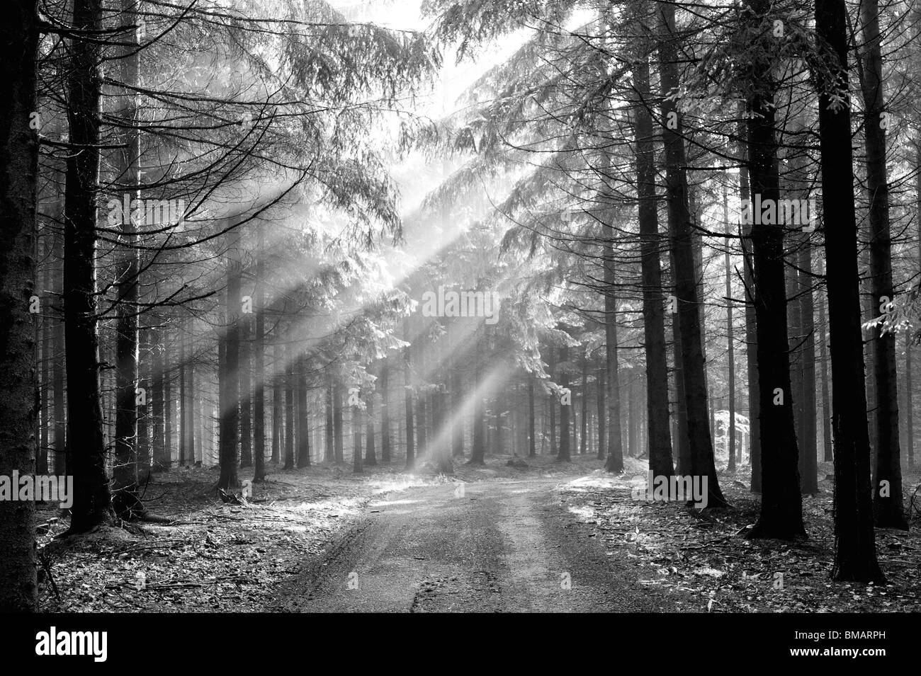mystical forest - conifer forest in the early morning - a film of mist - autumn scenery - Stock Image