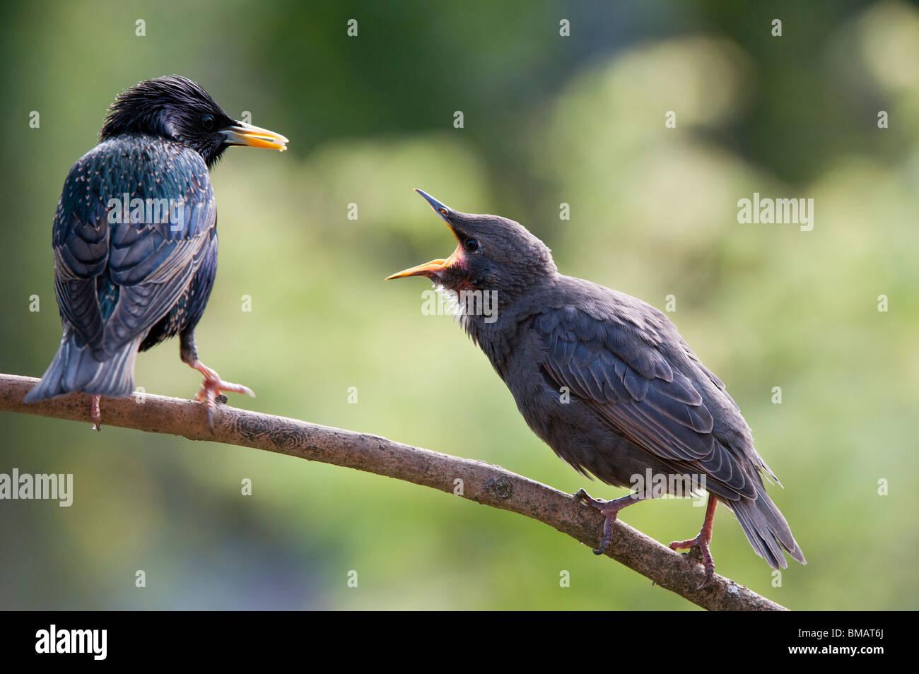 Sturnus vulgaris. Starling feeding young fledgling - Stock Image
