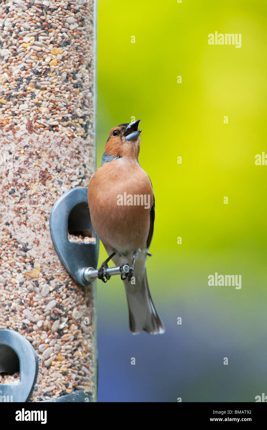 Fringilla Coelebs. Male chaffinch feeding on a bird seed feeder singing - Stock Image