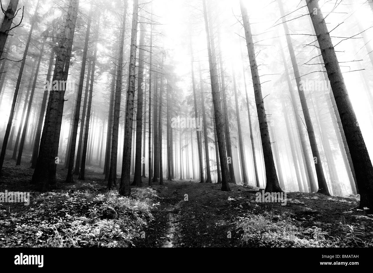 conifer forest in early morning - early morning fog - autumn forest - Stock Image