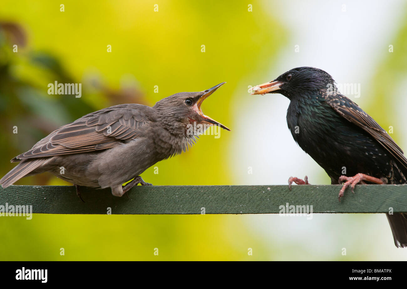 Sturnus vulgaris. Starling feeding a young fledgling Stock Photo