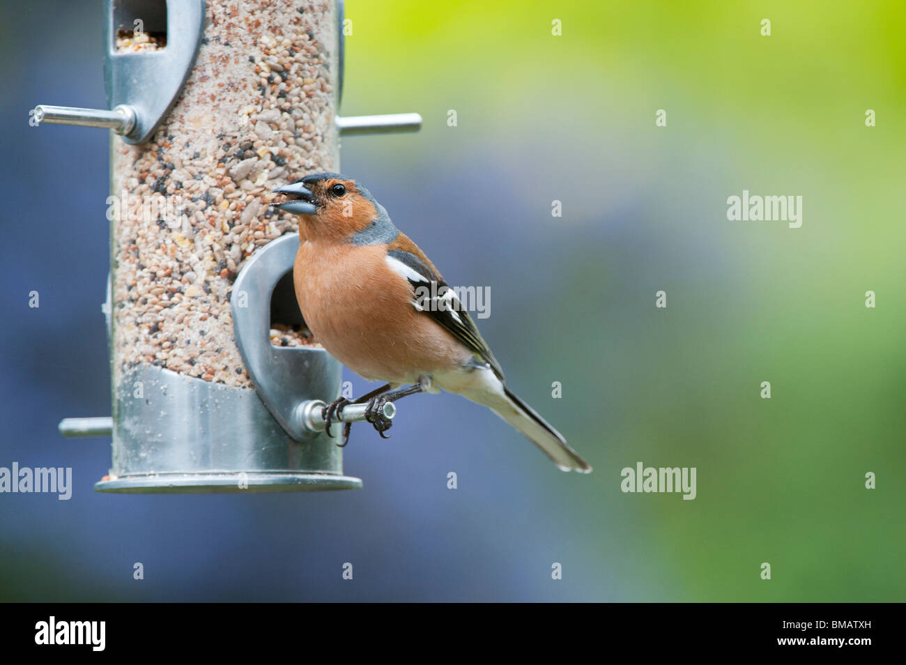 Fringilla Coelebs. Male chaffinch feeding on a bird seed feeder - Stock Image