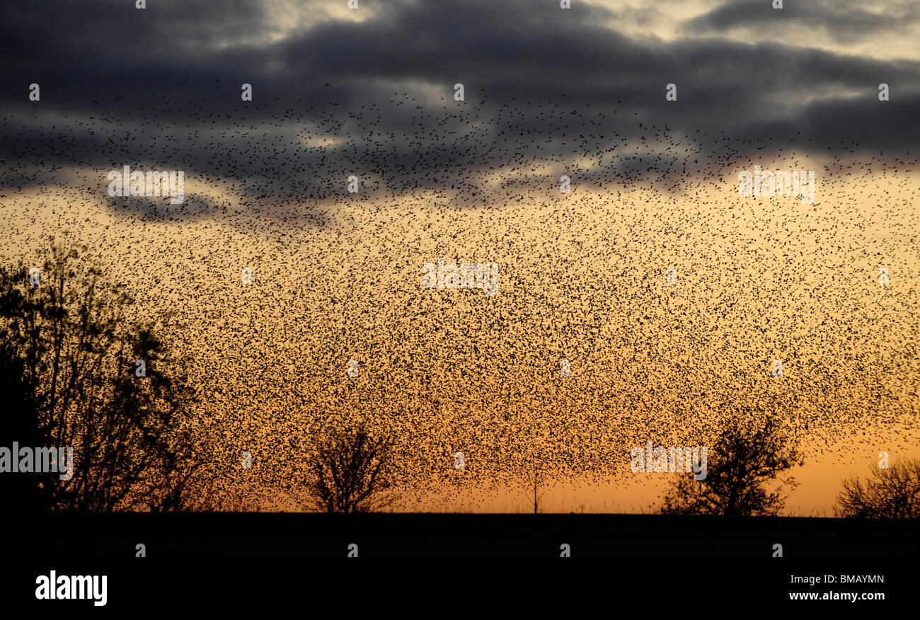 murmuration of starlings. Thousands of the birds fly in formation rapidly changing direction in an attempt confuse - Stock Image