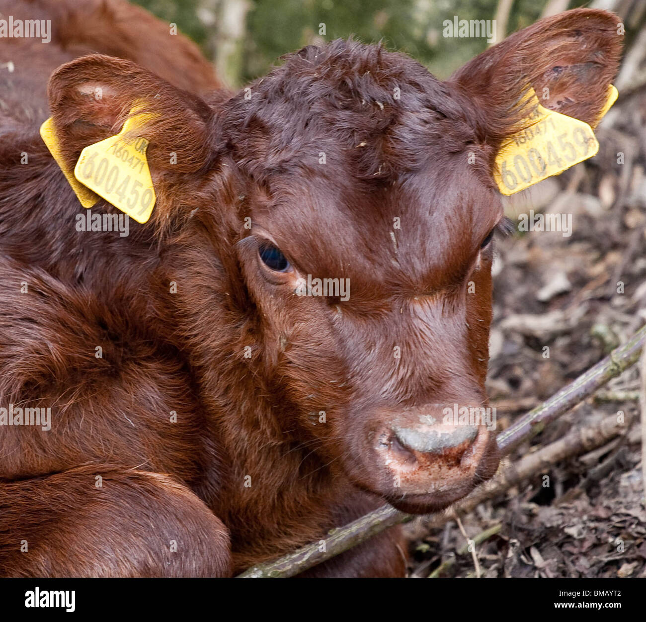 Red Poll Calf One Day Old Rarebreed Cattle in cheshire England - Stock Image