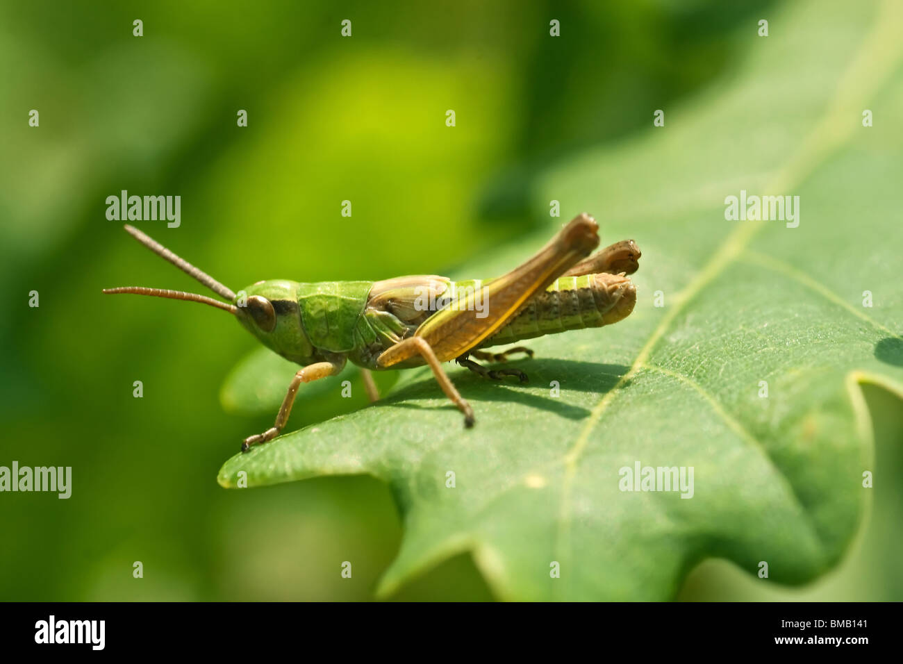 grasshopper on the grass, extreme closeup and details, macro - Stock Image