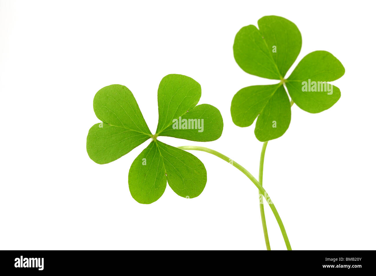 Clover leaf isolated on a white - Stock Image