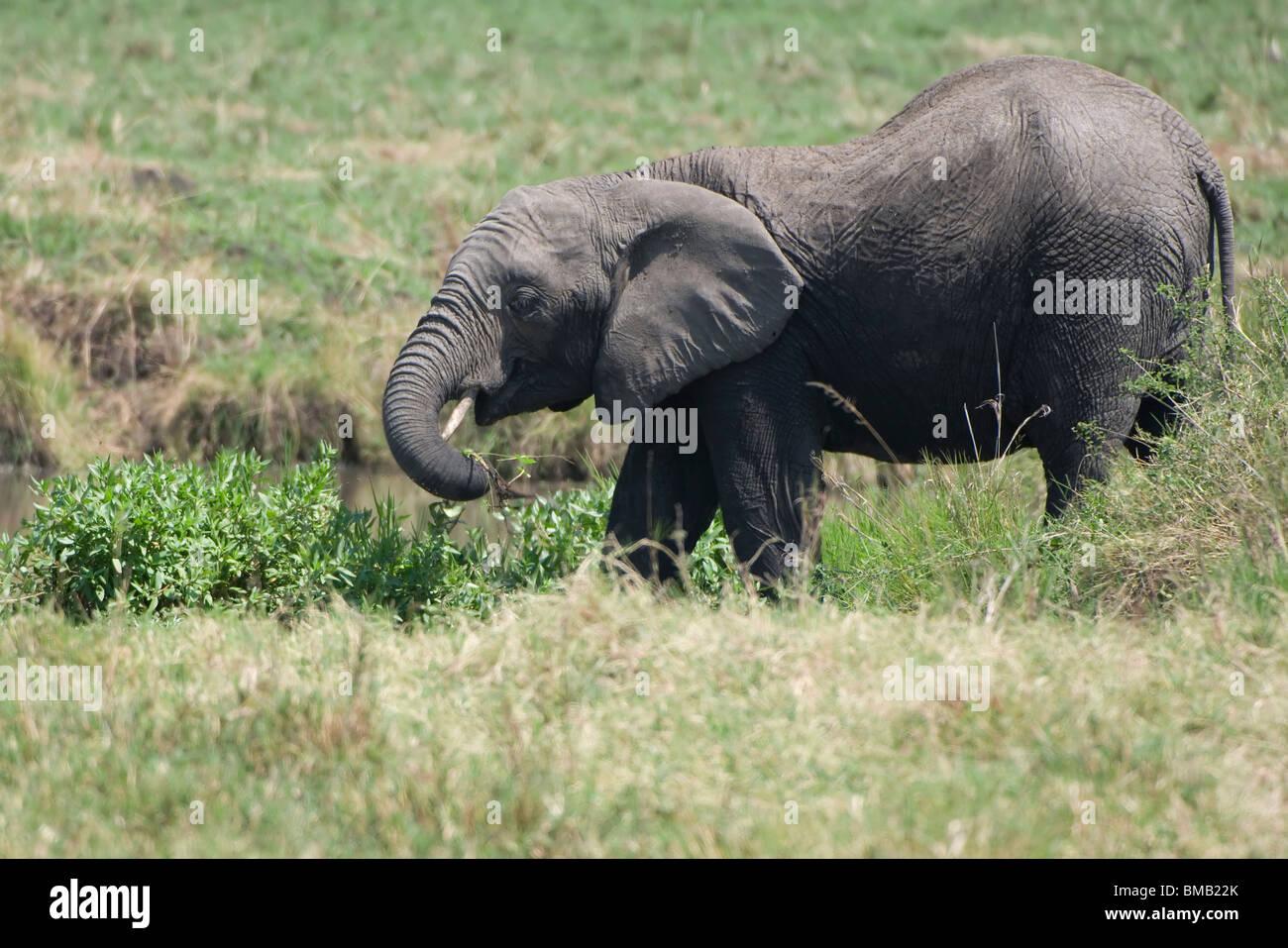 Young African Elephant, Loxodonta africana, Masai Mara, Kenya, Africa - Stock Image