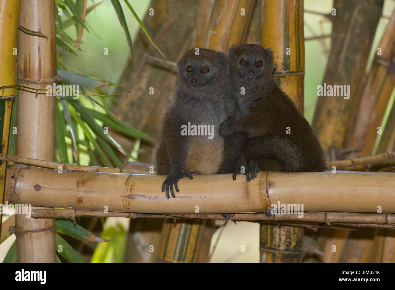 Eastern Lesser Bamboo Lemur also known as Gray Bamboo Lemur or Gray Gentle Lemur (Hapalemur griseus), Madagascar - Stock Image