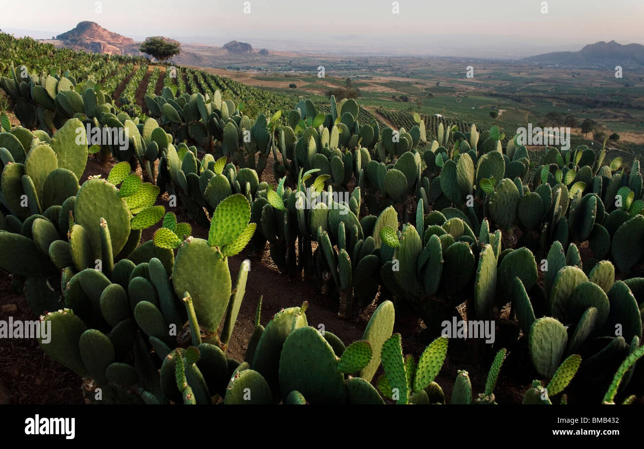 Nopal Fields near Tlayacapan, Mexico, February 5, 2008. Photo/Chico Sanchez Stock Photo