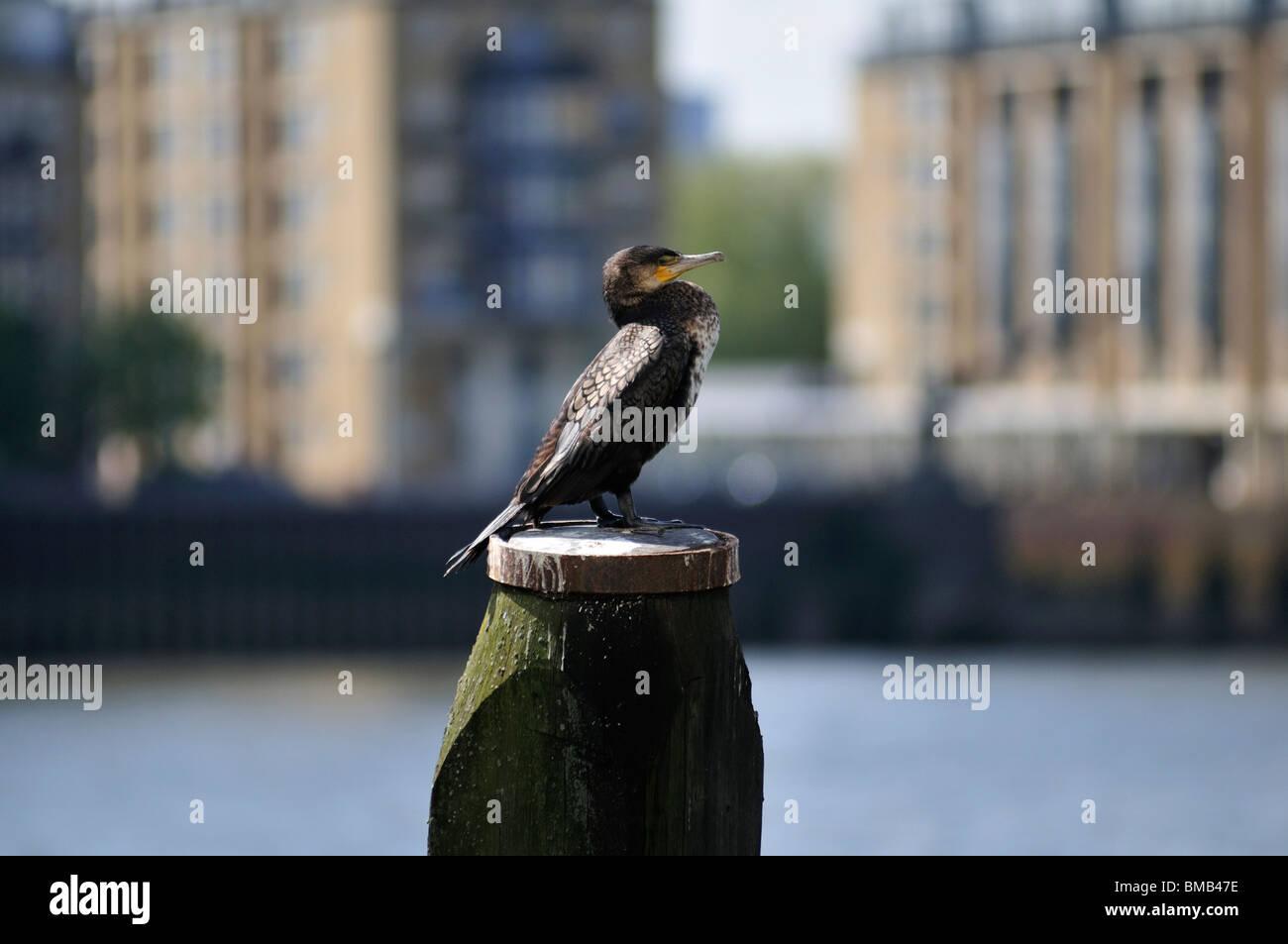 Cormorant, River Thames, London, United Kingdom - Stock Image