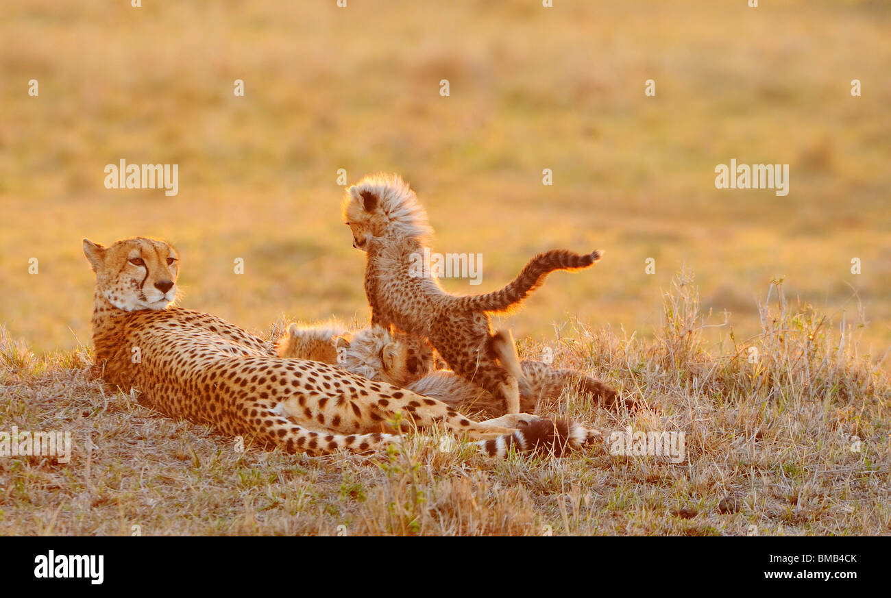 Cheetah (Acinonyx jubatus) is a vulnerable cat/feline (Felidae), which hunts by speed and stealth. It is the fastest - Stock Image