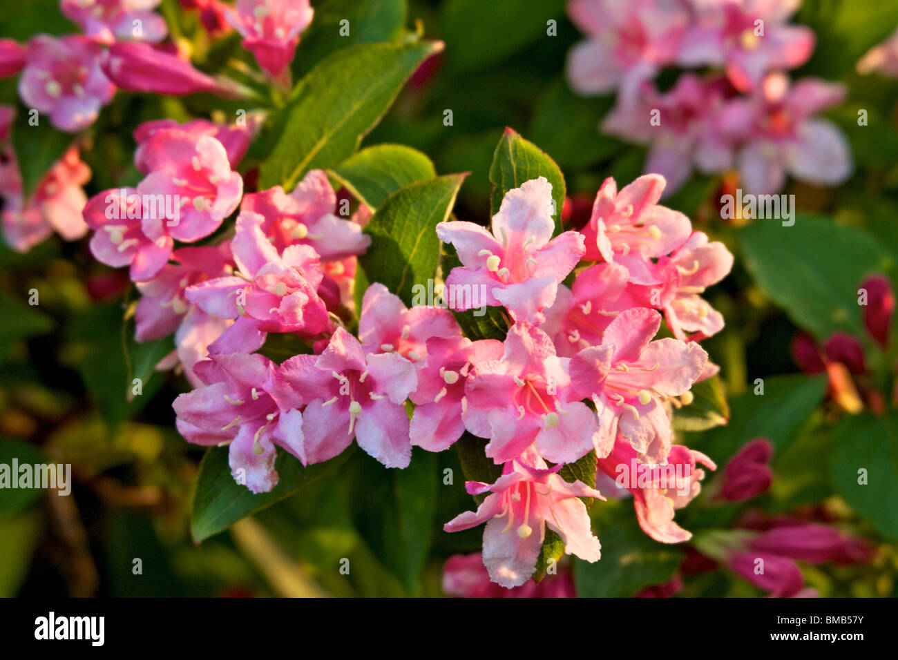 Evergreen shrub with pink flowers in spring stock photos evergreen deutzia large shrub that has long lasting show of pink flowers in late spring mightylinksfo