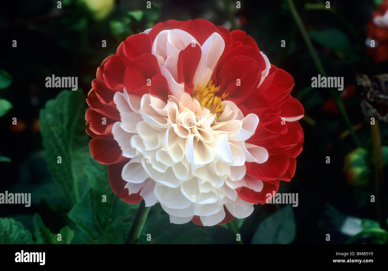 Dahlia York And Lancaster Red And White Flower Flowers Garden