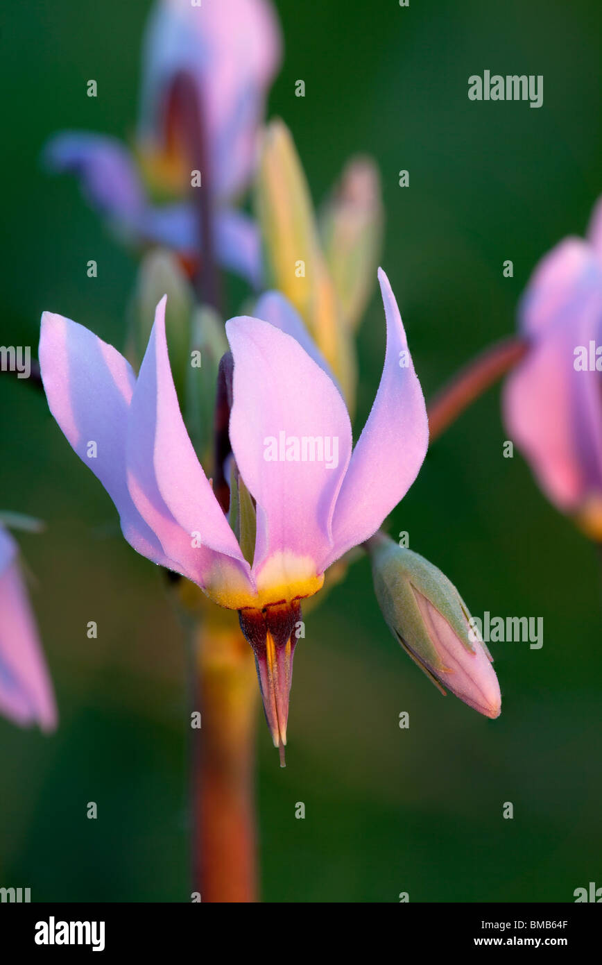Shooting Star (Dodecatheon meadia), Hayden Prairie State Preserve, Howard County, Iowa - Stock Image