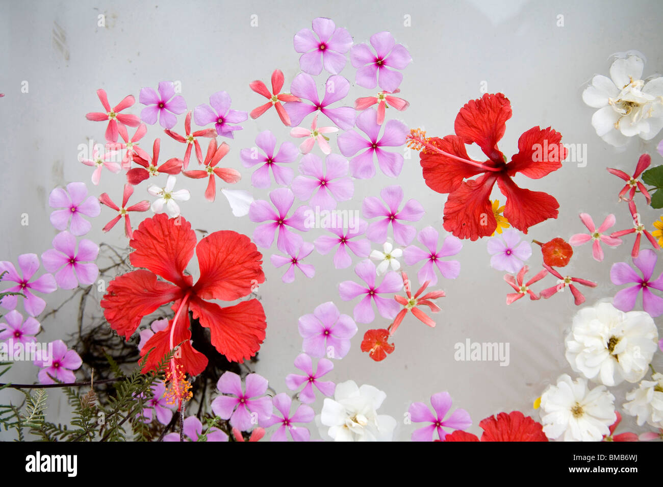 Red color shoe flowers floating in bath tub ; Karjat ; Maharashtra ...