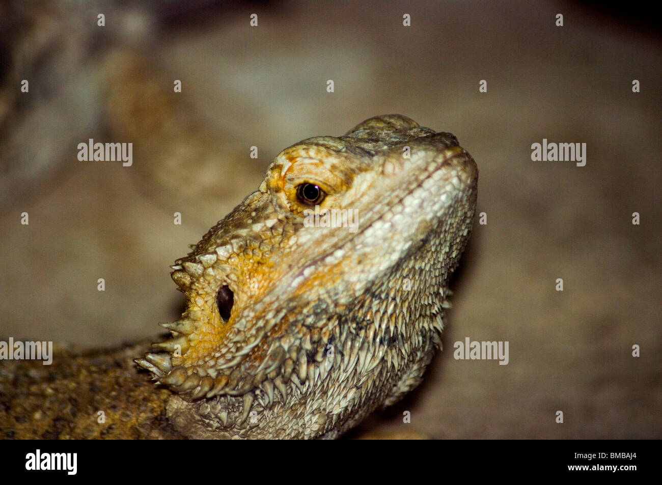 Bearded dragon in the foreground again with evidence of his black bag placed under the mouth that inflates when - Stock Image