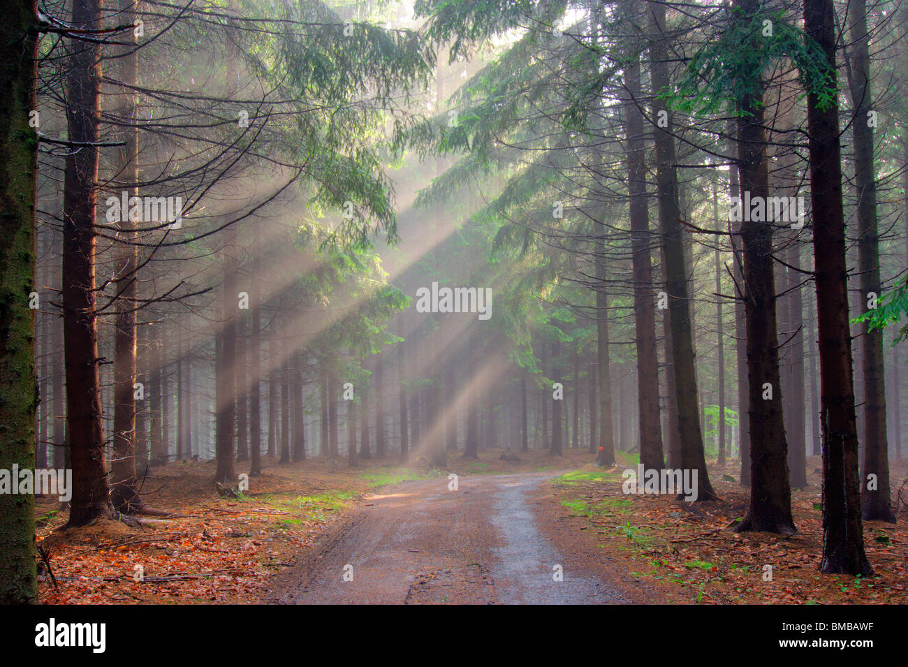 God beams - spruce forest in the early morning mist - Stock Image