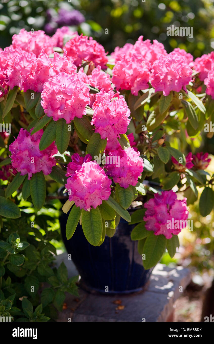 A plant pot of rhododendrons - Stock Image