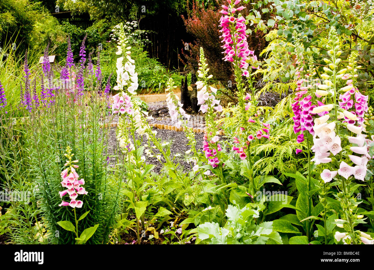 Foxgloves in the Path of Life Garden in the TWIGS gardens in Swindon, Wiltshire, England, UK - Stock Image