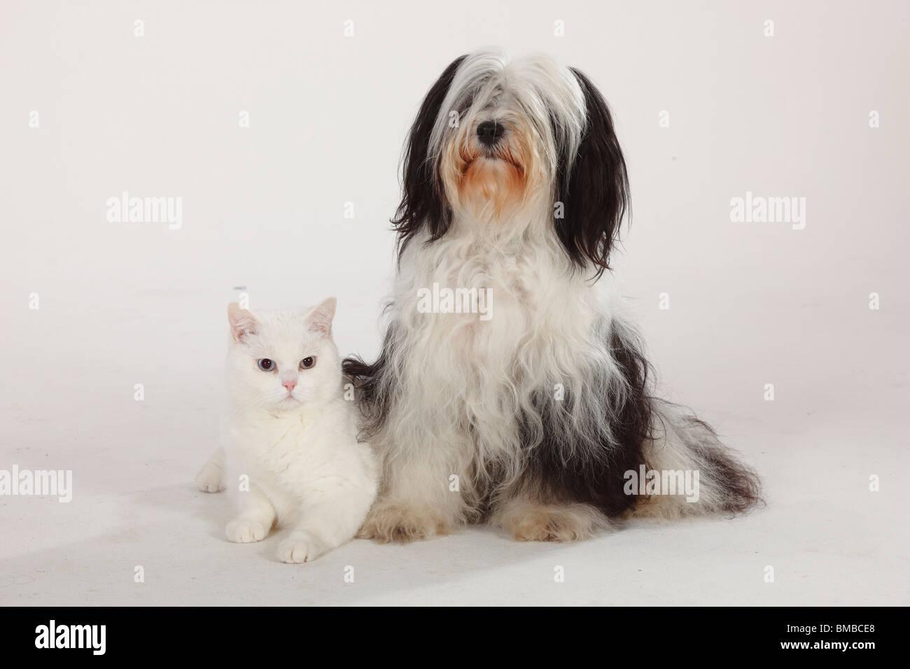 British Shorthair Cat Tomcat White Blue Eyed Tibetan Terrier Stock Photo Alamy