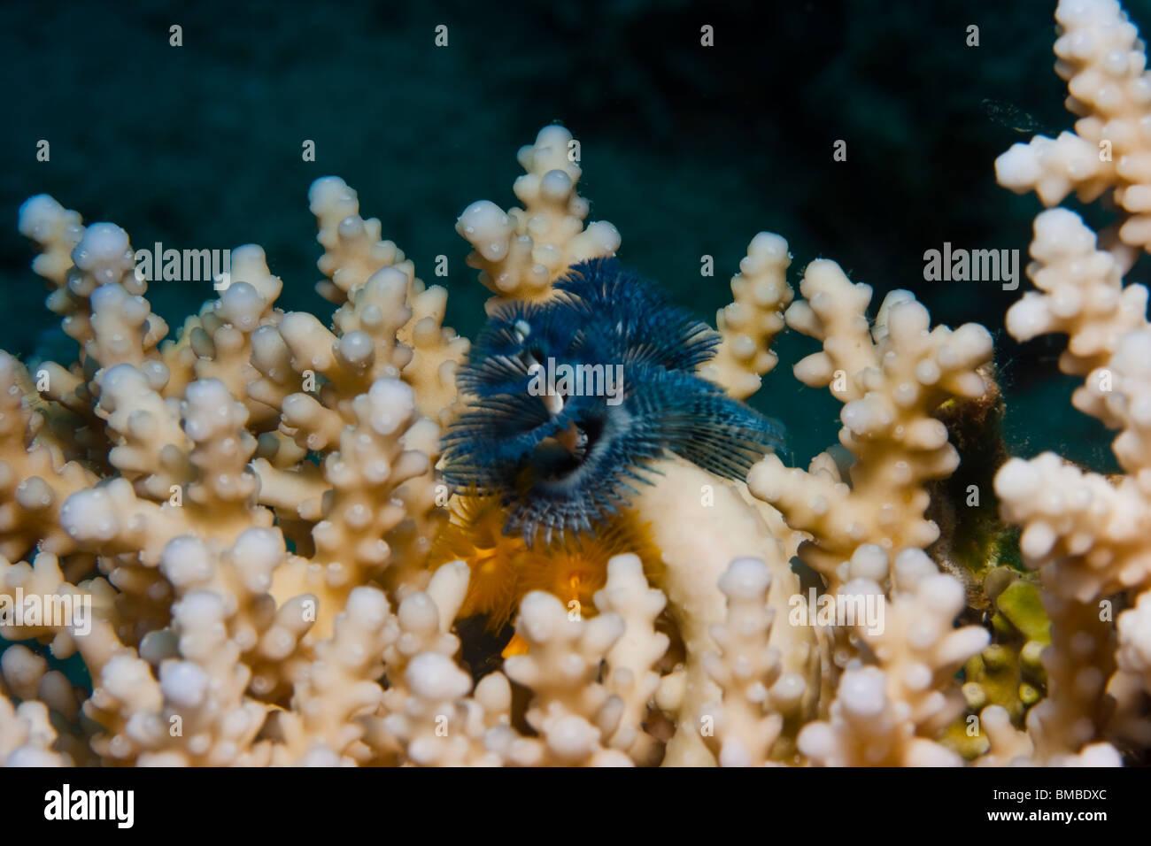 Tube-dwelling anemone (Spirobranchus Giganteus) - Stock Image