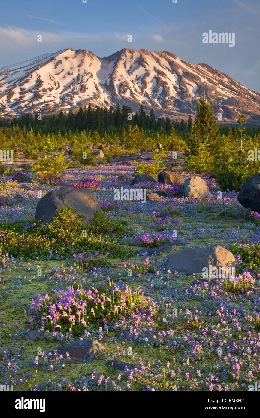 Mount St. Helens National Volcanic Monument, WA Dawn on Mount St. Helens from a meadow of lupine and penstemon at Stock Photo