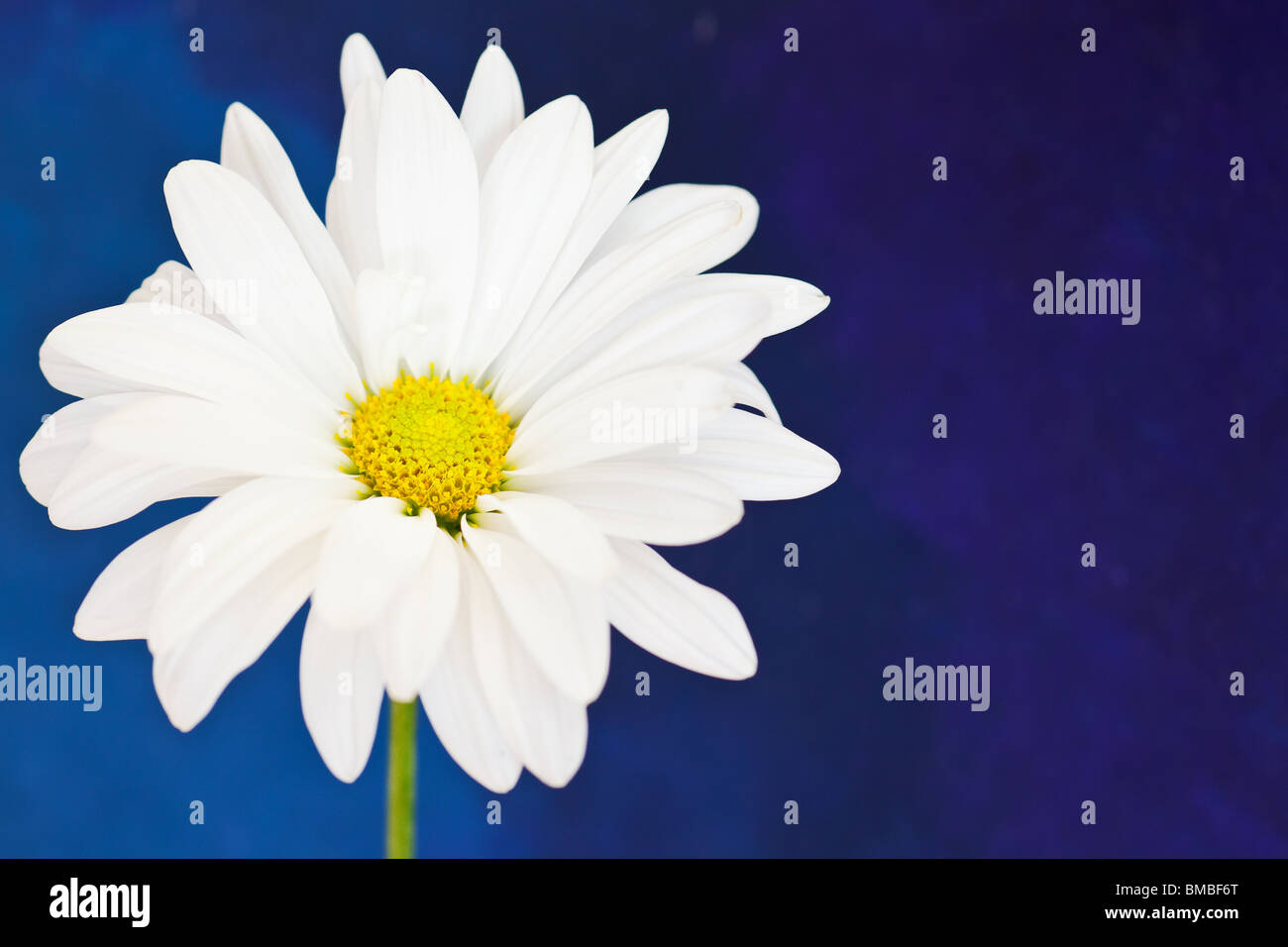 white and yellow daisy on a hand painted watercolor background - Stock Image