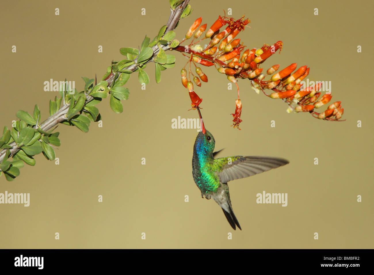 Broad-billed Hummingbird  Adult Male feeding at Ocotillo flowers. - Stock Image